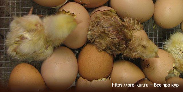 Выводить цыплят в инкубаторе лучше самому в домашних условиях.