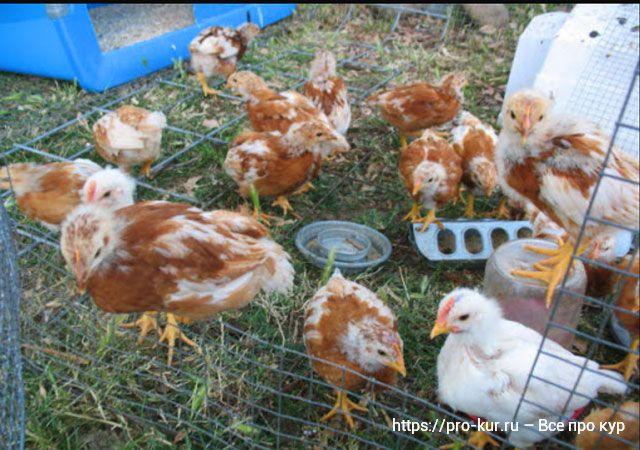 Цыплята в 3-4 месяца – 10 правил успешного выращивания.