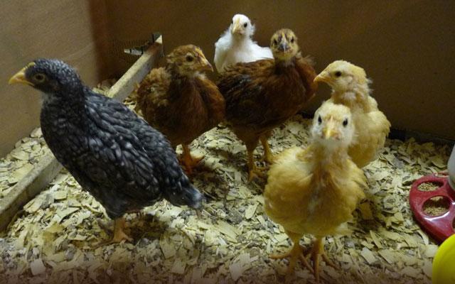 Цыплятам месяц чем кормить.
