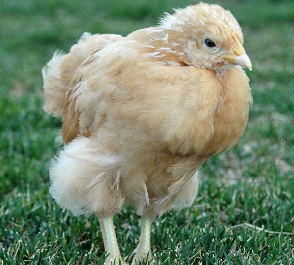 Цыплятам месяц температурный режим.