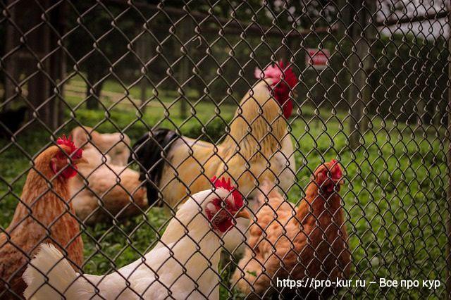 Куры в огороженном дворике.