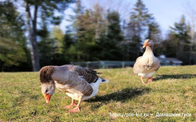 Домашние гуси на просторном выгуле, свободный выпас.