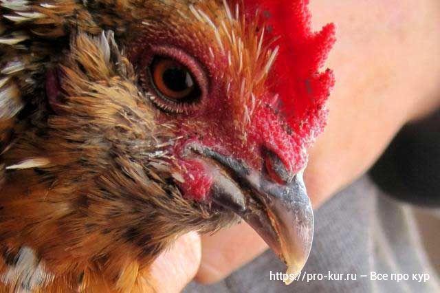 Как подрезать клюв курице в домашних условиях и чем лучше стричь.