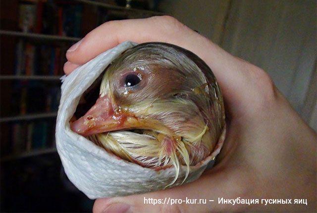 Инкубация гусиных яиц в домашних условиях.