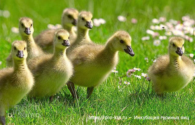 Как правильно закладывать гусиные яйца в инкубатор и когда появятся гусята