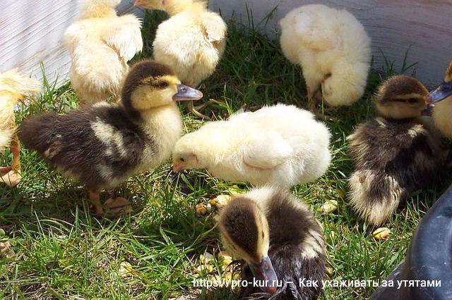 Утята и цыплята совместное выращивание.