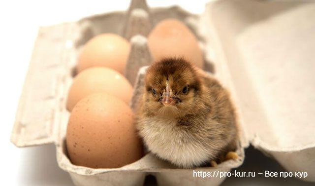 Какие яйца закладывать в инкубатор?