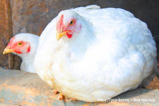 Выращивание бройлерных цыплят в домашних условиях.