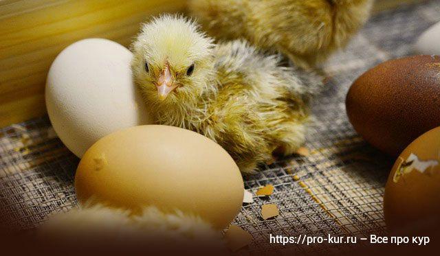 8 причин выводить цыплят в инкубаторе лучше самому в домашних условиях.