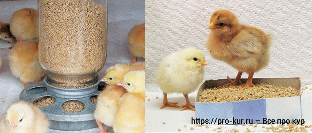 Как ухаживать за цыплятами в домашних условиях и чем кормить?