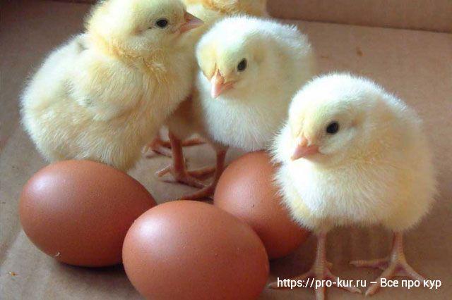 Где купить и как выбирать бройлерных цыплят.
