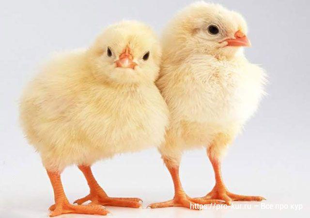 Как выбрать и где купить цыплят-бройлеров росс 308.
