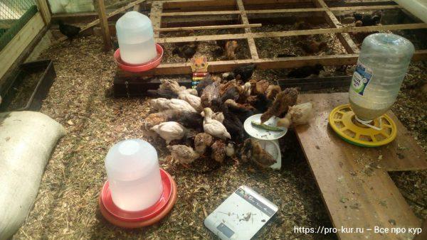 Как взвешивать цыплят в домашних условиях – простой способ.