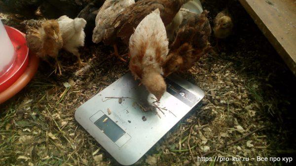 Весы для взвешивания домашней птицы.