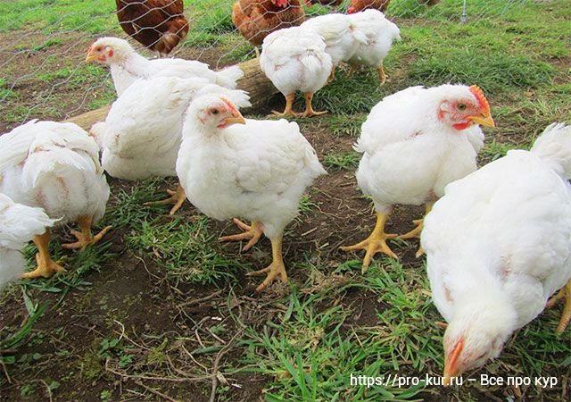 Комбикорма для цыплят-бройлеров ПК и БР.