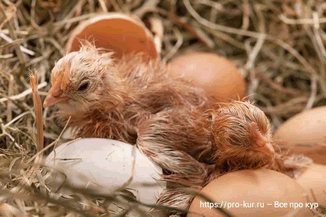 Цыплята вывелись под наседкой фото.