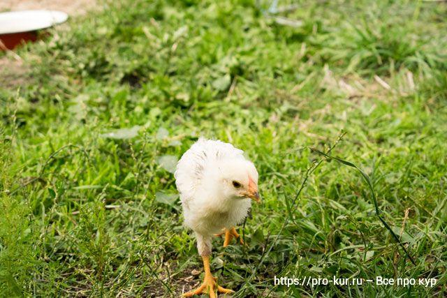 Зелень и трава цыплятам – какую можно давать и как скармливать.