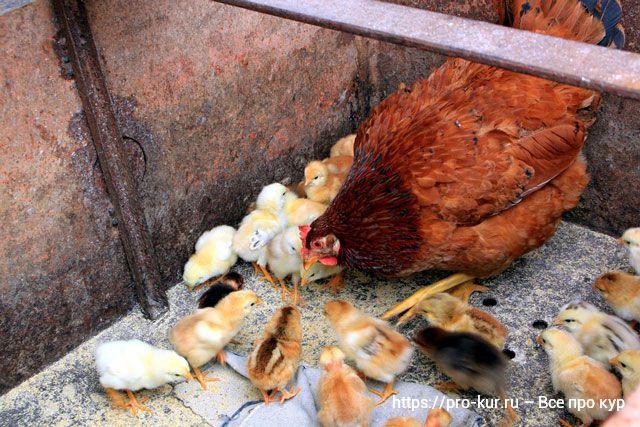 Курица с цыплятами фото.