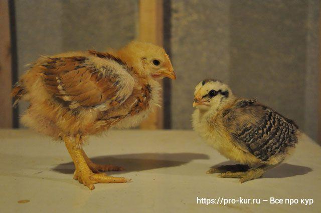 Совместное выращивание цыплят бройлеров и цыплят кур несушек.