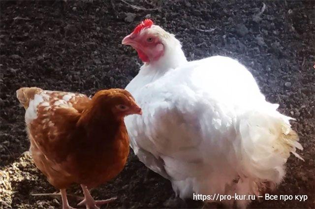 Ячмень курам несушкам и цыплятам бройлерам можно ли давать и сколько.