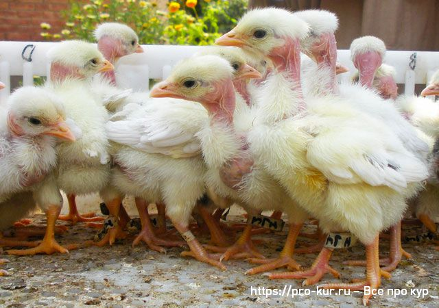 Цыплята голошейной породы кур фото.