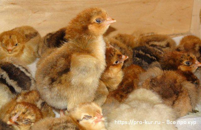 Как и чем кормить цыплят Кучинской юбилейной породы.
