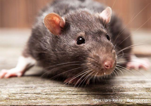 Крысы в птичнике и во дворе: способы избавиться и препараты.