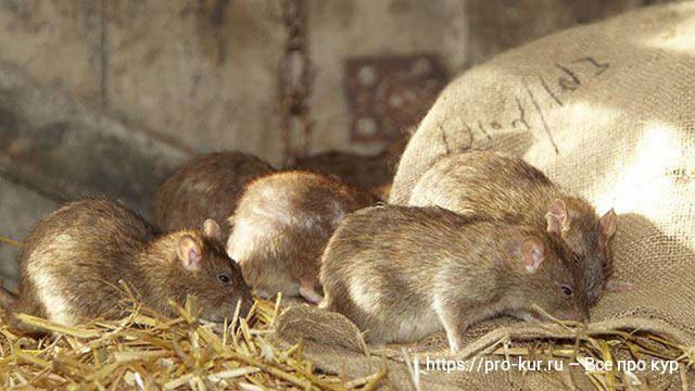 Серые крысы в доме и на участке – чем вредны пасюки и как бороться.