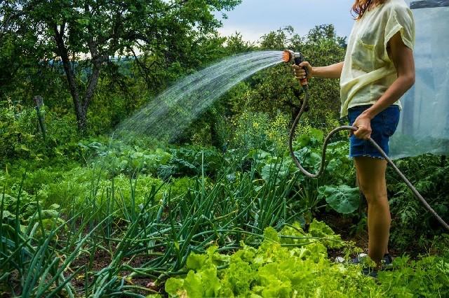 Полив в жару и ошибки, которые могут испортить урожай.