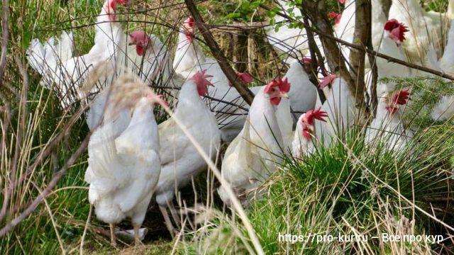 Русские белые куры несушки – описание породы с фото и видео.