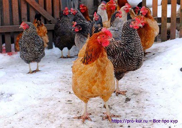 Зимнее содержание кур несушек и кормление в России.