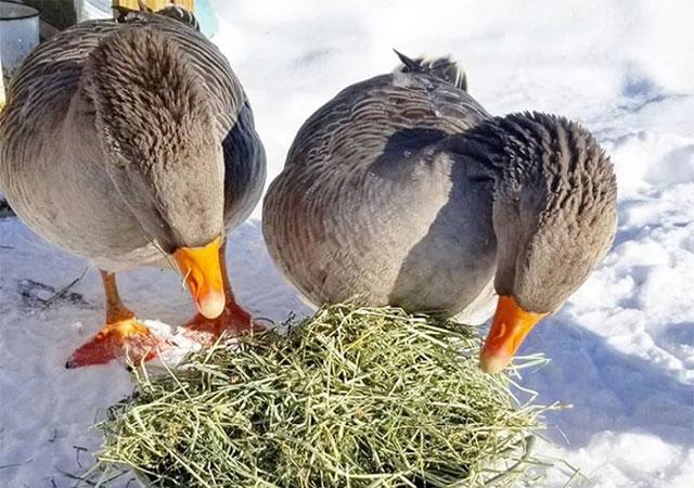 Кормление гусей зимой на племя, сено и зерно, рационы.
