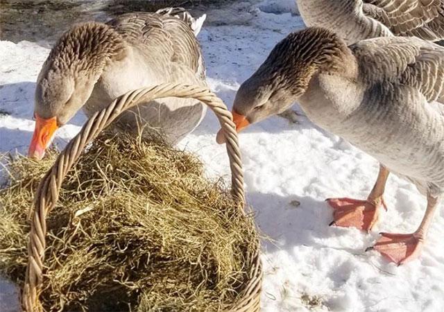Кормление гусей зимой сеном.