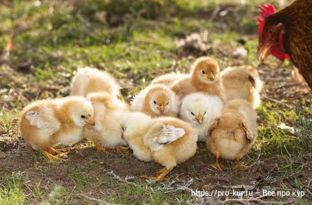 Курица хромает и садится на ноги – 7 причин и как лечить.