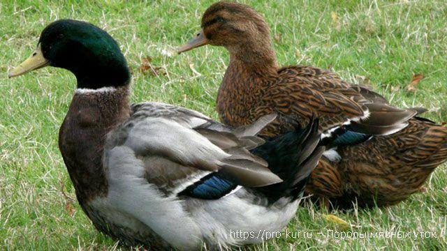 Породы мясных уток с фото и описанием. Руанские утки.