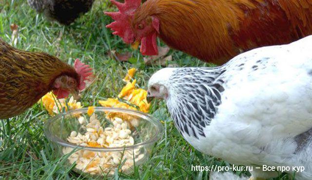 Кормление кур тыквой и семечками от глистов.