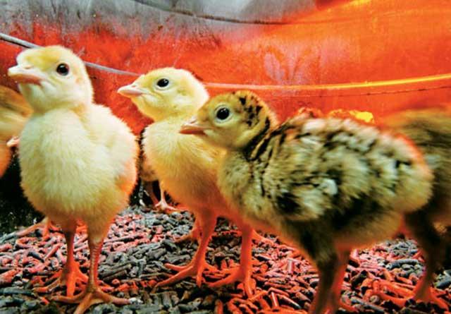 Искусственная инкубация яиц индеек в домашних условиях.