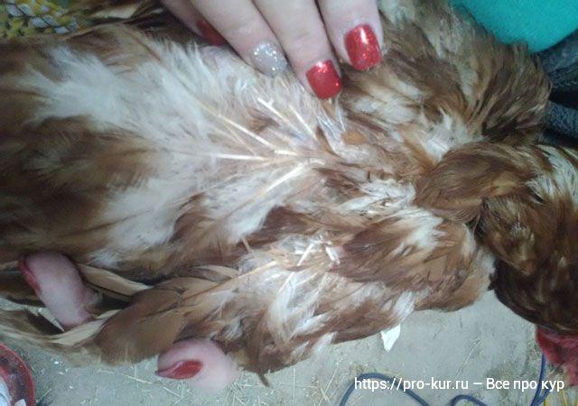 Пероеды и пухоеды у кур – симптомы и лечение от паразитов.
