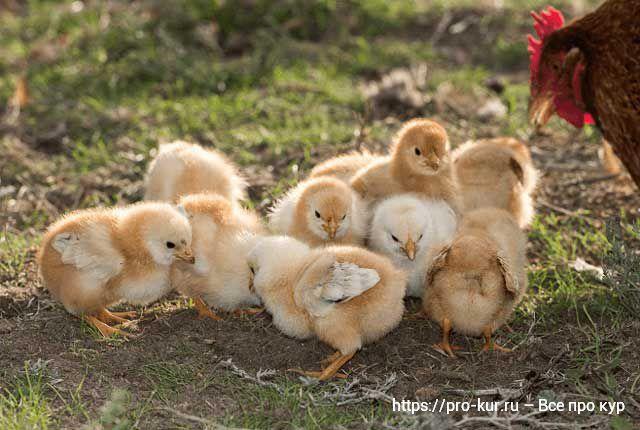 Уход за цыплятами с первых дней жизни и кормление.