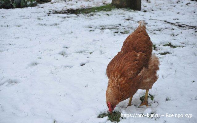 Витамины курам несушкам зимой.
