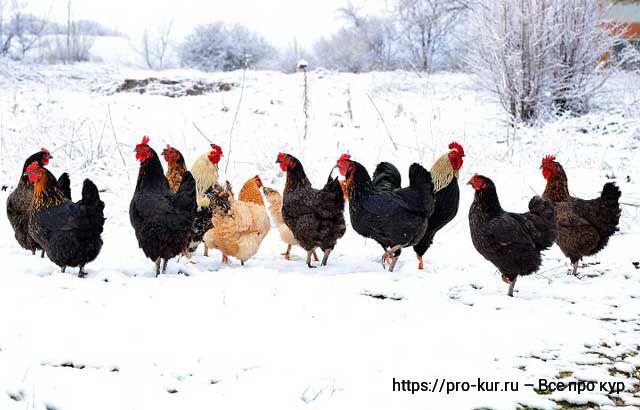 Куры несушки зимой на выгуле.