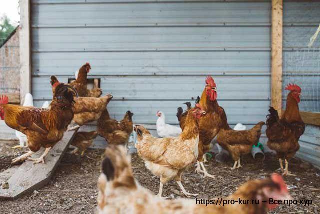 Зимнее кормление кур несушек в домашних условиях.