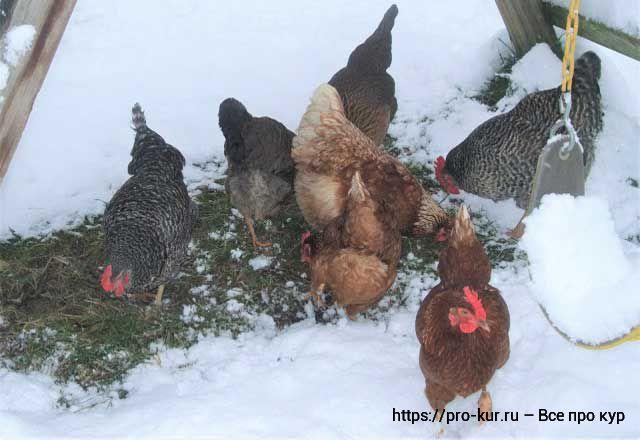 Чем и как кормить кур несушек зимой в домашних условиях.
