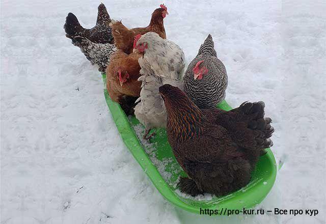 Зимнее кормление кур несушек для хорошей яйценоскости.