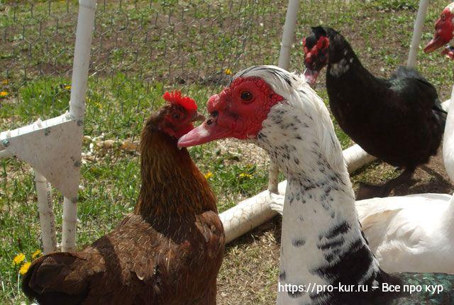 Индоутка и курица несушка в одном дворе.