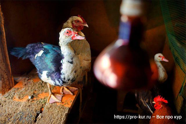 Совместное содержание индоуток и кур в одном курятнике зимой и летом.