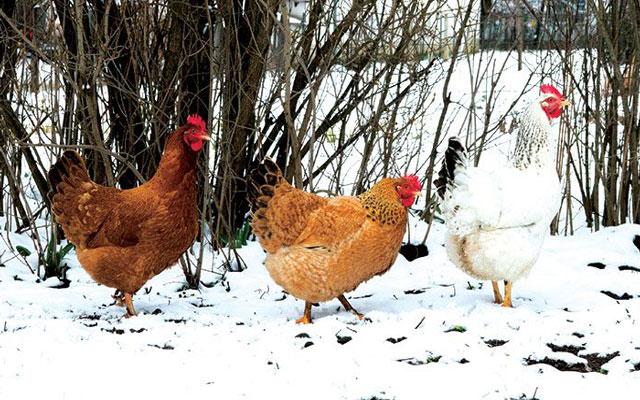 Что любит домашняя птица зимой?
