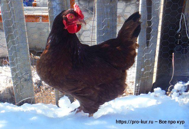 Что нужно курам зимой, чтобы они не мерзли и хорошо неслись.