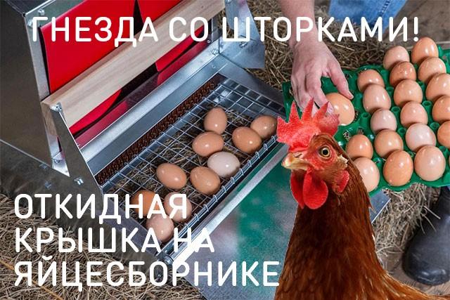 Курица ест свои яйца от скуки, голода или она сошла с ума?