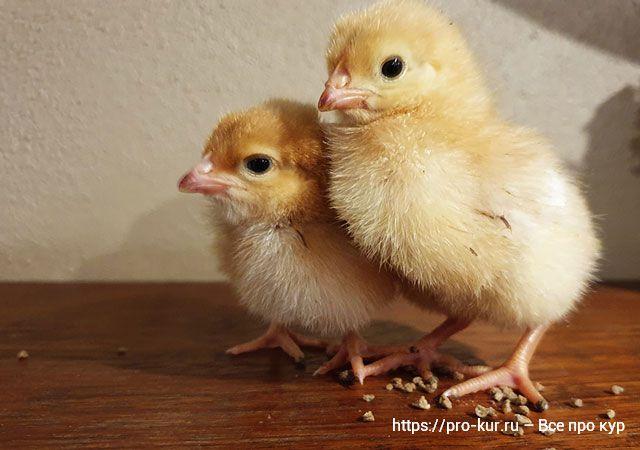 4 вопроса при покупке цыплят на рынке.